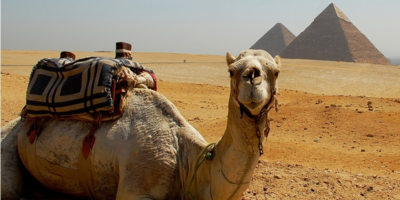 Camel, piramid, egypt